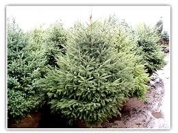 nursery evergreen trees wolcyn tree farms cambridge mn