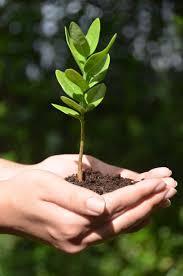native hawaiian plants for sale sandalwood legacy tree jpg