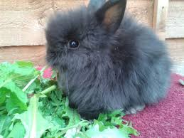 lion heads for sale fifty shades of grey agouti lionheads shepton mallet