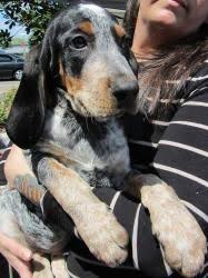 bluetick coonhound puppies joplin mo lucy the coon hound from