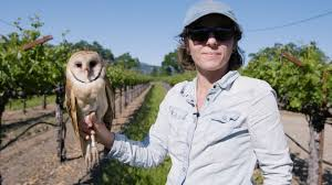 great big story barn owls the secret saviors of napa valley u0027s