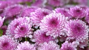 mums flowers stock footage video shutterstock