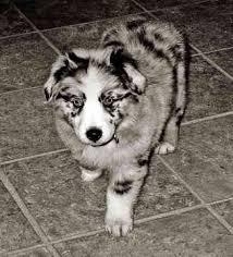 australian shepherd husky puppy 1677 best awesome aussies images on pinterest animals