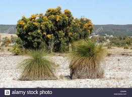 Trees Worldwide Australian Tree Nuytsia Floribunda Grass Trees