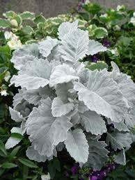 google images flower 17 best images about silver flowers u0026 foliage on pinterest sun
