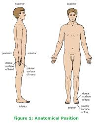 Human Anatomy Planes Of The Body Anatomical Terms Related To Position And Anatomical Planes Get