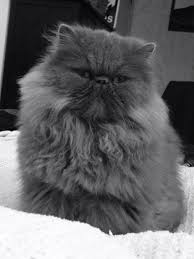 grooming under sedation cat behaviour cat grooming advice