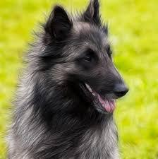 belgian sheepdog tattoo 317 best terv dogz u0026 cool canines images on pinterest animals