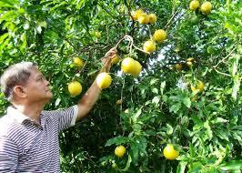 high value fruit trees ato belen u0027s farm