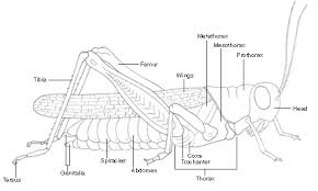 parts of an insect grasshopper