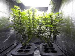 what to expect during the cannabis flowering stage 12 12 to