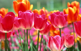 spring tulip u2014 crafthubs fleurs pinterest tulips flowers