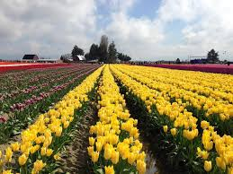 Skagit Valley Tulip Festival Bloom Map Skagit Valley Tulip Festival Global Adventuress