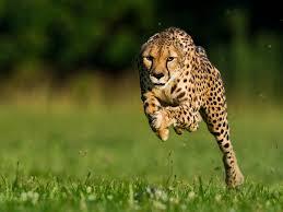cheetah breaks speed record u2014beats usain bolt by seconds