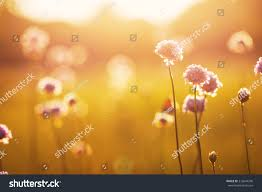 wild flowers in wild meadows wild meadow pink flowers on morning stock photo 316644296