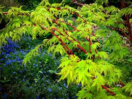 coral bark japanese maple for sale the tree center