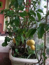 plante de cuisine plemousse et pomelo conseil jardinage application en