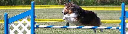 afghan hound agility agility ckc
