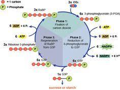 Light Independent Reactions Definition Biology Photosynthesis Process Photosynthesis Light Reaction