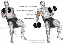 the incline dumbbell curl targets your biceps brachii emphasizing