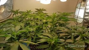 cfl lights for growing weed growing weed from bag seed with cfl lights lst flowering day 8 12