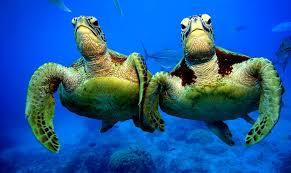 imagenes tortugas verdes las mejores fotografías del mundo las tortugas verdes en la gran