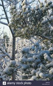white fluffy snow on the tree branches stock photo royalty free