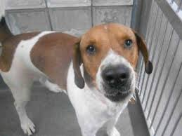 bluetick coonhound classifieds 199 best treeing walker coonhound images on pinterest treeing