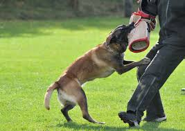 belgian shepherd dog temperament 5 things you didn u0027t know about belgian malinois u2013 iheartdogs com