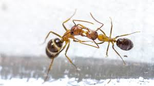an ant u0027s kiss may hide a sneaky form of communication science aaas