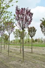 Pom Pom Trees Malus Pom U0027zai U0027courtabri U0027 Van Den Berk Nurseries
