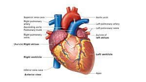 Anatomy Slides Which Heart Chamber Pumps Unoxygenated Blood Out The Pulmonary