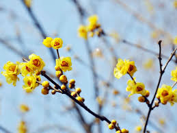winter flowering scented plants saga