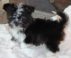 australian shepherd weiner dog mix australian shepherd maltese puppie puppy mix for sale for sale in