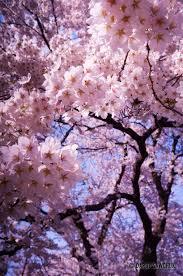 a cherry blossom tree in in ichinoseki iwate