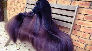 afghan hound club of st louis get ready to meet the u0027world u0027s prettiest dog u0027 rover com