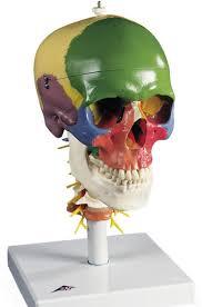 Human Anatomy Skull Bones Bone Structure Skull Bones In The Human Skull