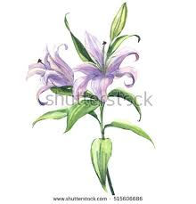 Purple Lily Flower Blooming Beautiful Blue Purple Lily Flower Stock Illustration