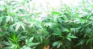what is the best lighting for growing indoor the best marijuana grow lights for indoor growing update