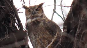 great horned owl hooting territorial evening call at sunset youtube