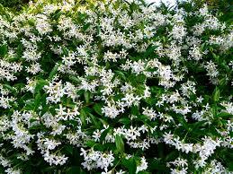 star jasmine on trellis jasmine star u2014 honeysuckle nurseries