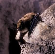 small bat eastern small footed myotis outdoor alabama