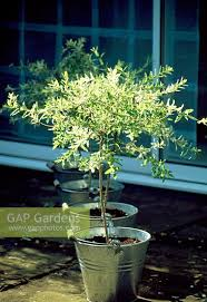 gap gardens small standard salix integra flamingo trees in