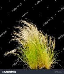 isolated ornamental grass on black stock photo 16142377