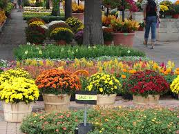 new utah gardener fall blooming mums hardy colorful and