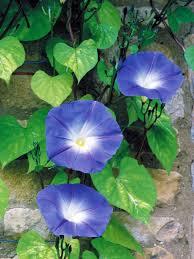 morning glory flower hgtv