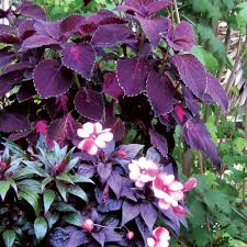 Flowering Shrubs That Like Full Sun - what to plant in the shade sunset