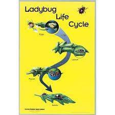 ladybug life cycle poster carolina com