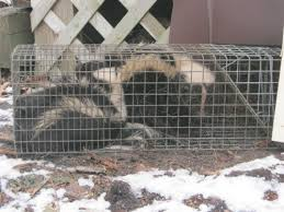 How Do You Get Rid Of Skunks In Your Backyard Skunks And Skunk Removal And Control By Suburban Wildlife Control