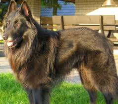 belgian sheepdog brown belgian tervuren puppies for sale belgian tervuren dog breed